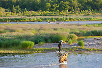 Brown bear fishes in the Brooks River along with a fly fisherman, Katmai National Park, southwest, Alaska.