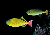 redtail triggerfish, Xanthichthys mento, Cocos Island, Costa Rica, Pacific Ocean