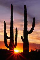 Saguaros at sunset<br /> Alamo Wash, Ajo Mountains <br /> Organ Pipe Cactus National Monument<br /> Sonoran Desert,  Arizona