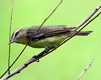 Male Tennessee warbler