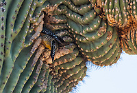 A Gila Woodpecker, Melanerpes uropygialis, enters its nest cavity in a Saguaro cactus, Carnegiea gigantea, in the Desert Botanical Garden, Phoenix, Arizona