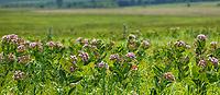 Asclepias sullivantii, smooth milkweed, Sullivant's milkweed or prairie milkweed native plant flowering in Tallgrass Prairie Preserve, Oklahoma