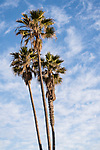 San Diego, California; three palm trees in early morning sunlight against a blue sky with whispy white clouds
