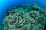 Cabbage or lettuce coral, Turbinaria reniformis?, and pink anthias, Parigi Moutong, Tomini Bay, Central Sulawesi, Indonesia, Pacific Ocean