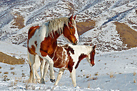 Two young paints enjoy their freedom on the high winter range of the Clegg Ranch.  This image is striking printed on metallic paper.  Uinta Mountains, Utah.