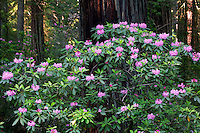 Redwoods and rhododendrons in Del Norte Coast Redwoods State Park, The Redwoods State and National Parks, California