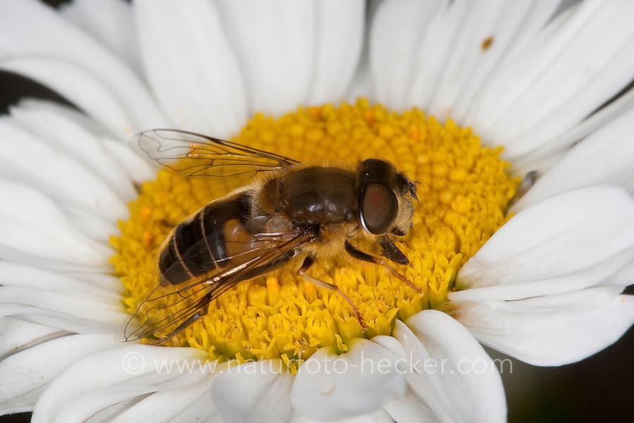 Lange Bienen-Schwebfliege, Lange Bienenschwebfliege, Männchen, Blütenbesuch, Eristalis pertinax, drone fly