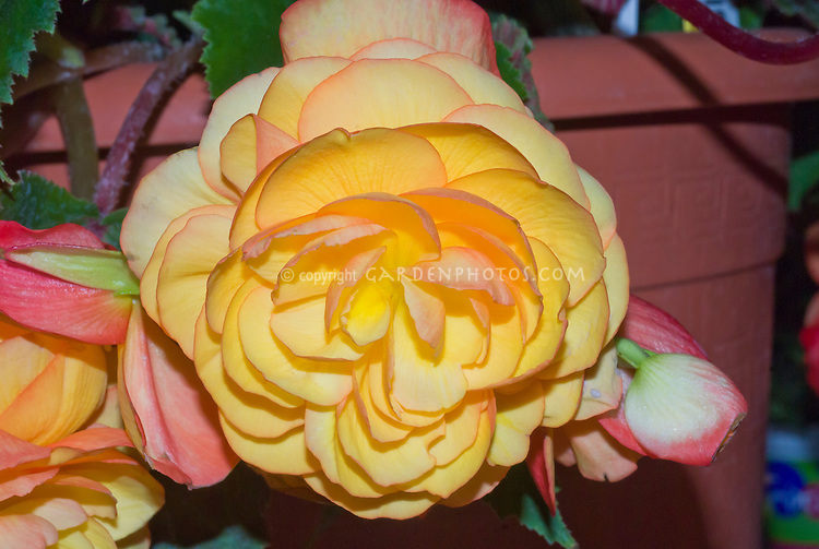 Begonia 'Apricot Fragrant Falls' orangey flower, scented blooms, tuberous