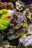 Bénitier - Tridacna squamosa