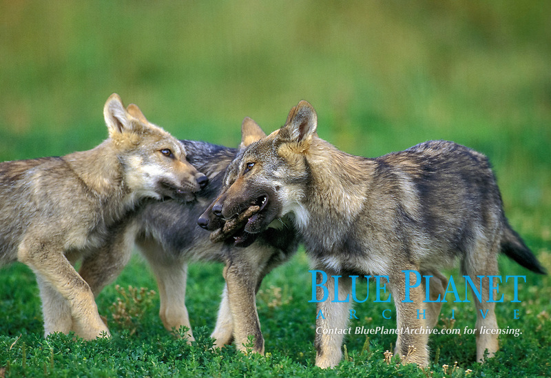 Eurasian wolf, Canis lupus lupus, pups, playing, Europe