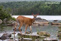 0623-1029  Northern (Woodland) White-tailed Deer Eating Wetland Grass, Odocoileus virginianus borealis  © David Kuhn/Dwight Kuhn Photography