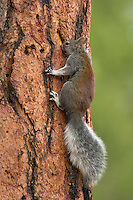 Abert's Squirrel or tassel-eared squirrel (Sciurus aberti) feeding (licking) on sap flowing from a woodpecker/sapsucker hole in side of ponderosa pine tree.  South rim of Grand Canyon, Arizona.