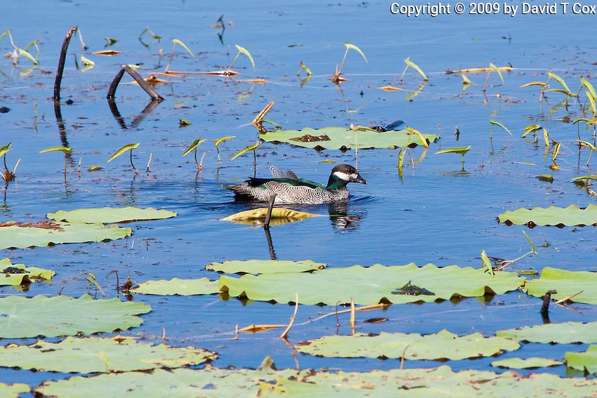 Green Pigmy-Goose, Fogg Dam, NT, Australia
