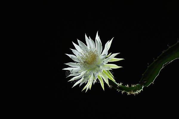 Night-blooming Cereus (Acanthocereus tetragonus), Hill Country, Central Texas, USA