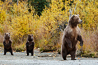 Alaska brown bears at Crescent Lake in Lake Clark National Park. Alaska<br /> <br /> Photo by Jeff Schultz/  (C) 2020  ALL RIGHTS RESERVED