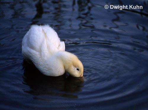 DG13-022x  Pekin Duck - immature adult ducking head into water for food
