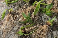 Spitzwegerich-Wurzeln, Spitzwegerich-Wurzel, Spitzwegerichwurzeln, Wurzeln, Wurzel vom Spitzwegerich, Wurzelernte, Ernte, Wurzelstock, Wurzelrhizome im Frühjahr. Spitz-Wegerich, Spitzwegerich, Wegerich, Plantago lanceolata, English Plantain, Ribwort, narrowleaf plantain, ribwort plantain, ribleaf, root, roots, le Plantain lancéolé, Plantain étroit