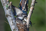 Eastern kingbird - adult and nestlings