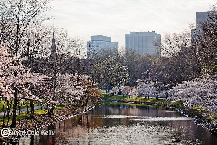 Cherry Blossoms on the Charles River Esplanade, Back Bay, Boston, MA
