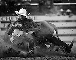 A Professional Rodeo Cowboy Association contestant strains to bring a 500 pound steer to the ground during competition at the annual Cheyenne Frontier Days Rodeo Steer Wrestling competition in Cheyenne, Wyoming.
