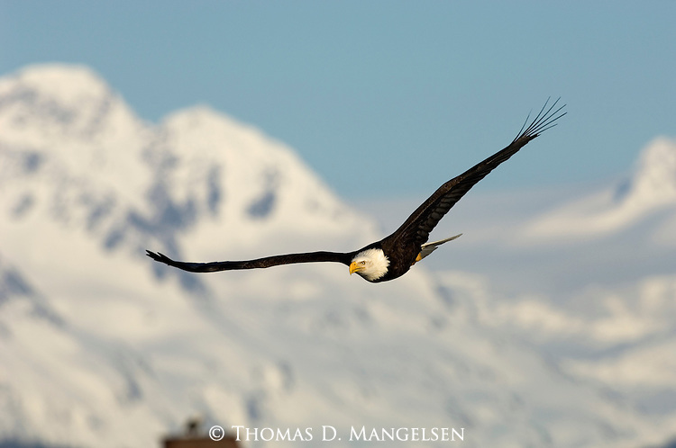 A bald eagle spreads its wings over Kachemak Bay in Homer, Alaska.
