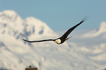 A bald eagle spreads its wings over Kachemak Bay in Homer, Alaska.