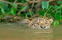 Jaguar (Panthera onca) swims in water, Pantanal, Mato Grosso, Brazil, South America