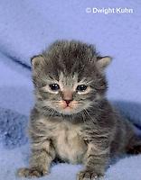 SH31-008z  Cat - kitten playing at 4 weeks