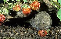 MU30-170z Meadow Vole - eating strawberries - Microtus pennsylvanicus