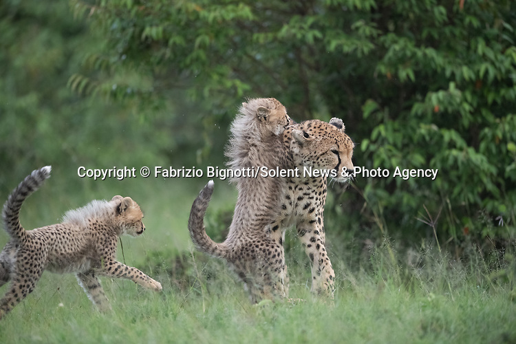 SEQUENCE 2 OF 15:  A young cub takes a tumble as he tries to crawl up his mother's back.  The small African cheetah falls on its paws after being shoved to the ground by its jealous sibling.<br /> <br /> Wrestling each other on the uncut grass, the cubs try to grab their mother's attention.  Amateur photographer Fabrizio Bignotti captured the cubs playing near their mother at Masai Mara National Reserve, Kenya.  SEE OUR COPY FOR DETAILS.<br /> <br /> Please byline: Fabrizio Bignotti/Solent News<br /> <br /> © Fabrizio Bignotti/Solent News & Photo Agency<br /> UK +44 (0) 2380 458800