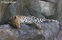 0309-1105  Amur Leopard Resting, Panthera pardus orientalis  © David Kuhn/Dwight Kuhn Photography