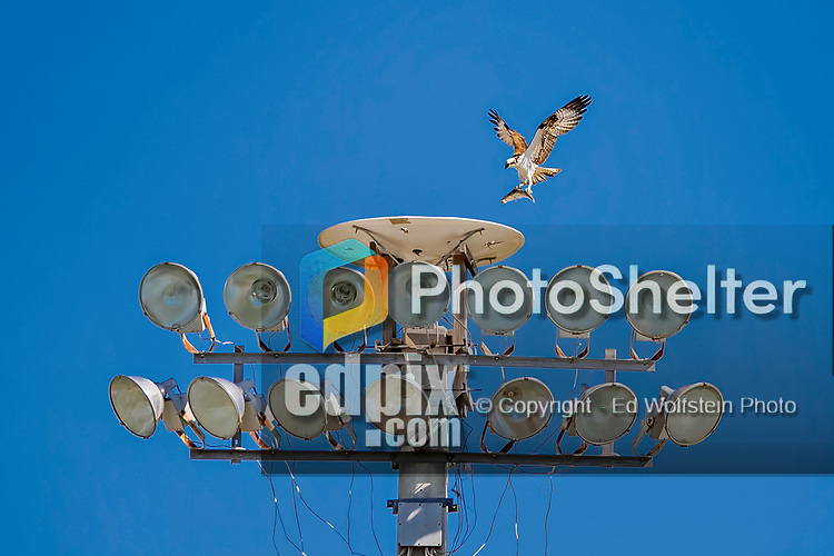 6 March 2019: A Bird of Prey lands with a caught fish on one of the outfield lighting standards during a Spring Training game between the Toronto Blue Jays and the Philadelphia Phillies at Dunedin Stadium in Dunedin, Florida. The Blue Jays defeated the Phillies 9-7 in Grapefruit League play. Mandatory Credit: Ed Wolfstein Photo *** RAW (NEF) Image File Available ***
