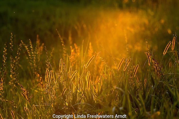 Backlit meadow foxtail