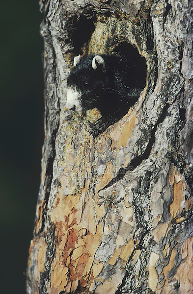 Eastern Fox Squirrel (Sciurus niger), adult in nesting cavity, Raleigh, Wake County, North Carolina, USA
