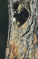 Eastern Fox Squirrel (Sciurus niger), adult in nesting cavity, Raleigh, Wake County, North Carolina, USA