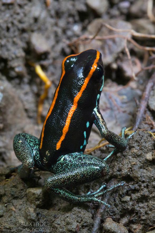 Golfodulcean Poison Frog {Phyllobates vittatus}, Osa Peninsula, Costa Rica. May.