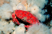 Red rock crab, Cancer productus, British Columbia, Pacific Ocean