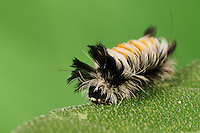 Moth Caterpillar (Lepidoptera), Laredo, Webb County, South Texas, USA
