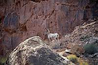 Desert bighorn sheep<br /> Grand Canyon<br /> Grand Canyon National Park<br /> Colorado Plateau,  Arizona