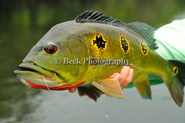 One of the three species of peacock bass, a butterfly Peacock Bass from the Amazon.