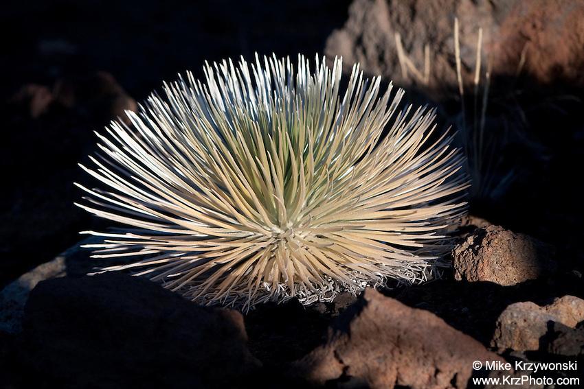 Haleakalā Silversword plant, Maui