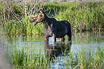 Female North American Moose (Alces alces) feeding in shallow pond. Grand Teton National Park, Wyoming, USA. June