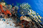Coral reef, Lutjanus kasmira, Bluestripe snapper, Raja Ampat, Indonesia, fish school
