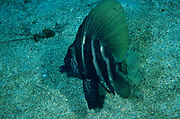 Whiskered armorhead or Striped boarfish, Evistias acutirostris, Futo, Sagami bay, Izu peninsula, Shizuoka, Japan, Pacific Ocean