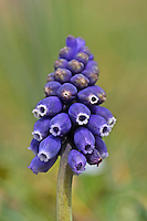 Weinbergs-Traubenhyazinthe, Übersehene Traubenhyazinthe, Verkannte Traubenhyazinthe, Weinbergs-Träubel, Muscari neglectum, Hyacinthus neglectus, grape hyacinth, common grape hyacinth, starch grape hyacinth, Le Muscari à grappe