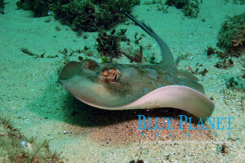 Blue-spotted Stingray, Neotrygon kuhlii, Flinders Reef, Moreton Bay Marine Park, Brisbane, Queensland, Australia, Pacific Ocean