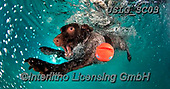 REALISTIC ANIMALS, REALISTISCHE TIERE, ANIMALES REALISTICOS, dogs, paintings+++++SethC_320B1177rev,USLGSC03,#A#, EVERYDAY ,underwater dogs,photos,fotos ,Seth