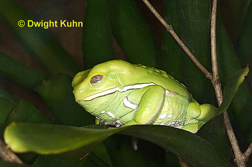 FR24-519z    Waxy Monkey Leaf Frog, Phyllomedusa sauvagii, Central and South America