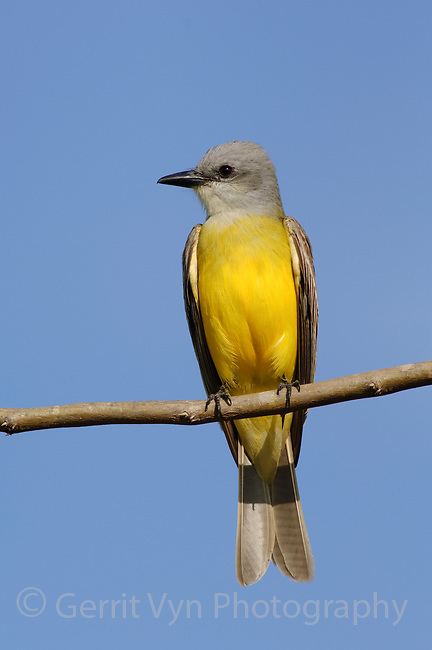 Adult Couch's Kingbird (Tyrannus couchii). Starr County, Texas. March.