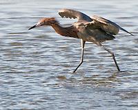 Reddish Egret, South Padre Island, TX